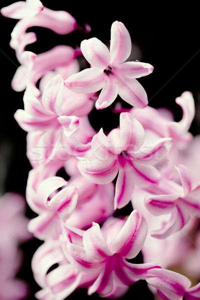 pink hyacinth flower in spring garden Stock photo © artush