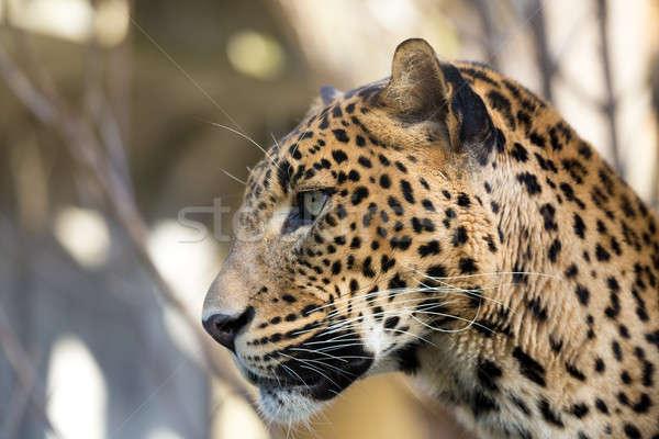 Portre leopar kafkas kar hayat kafa Stok fotoğraf © artush