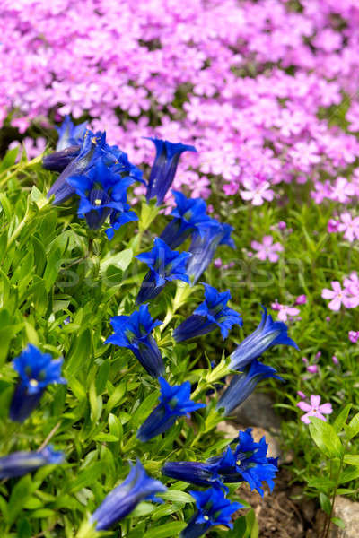 Trumpet gentian, blue spring flower in garden Stock photo © artush