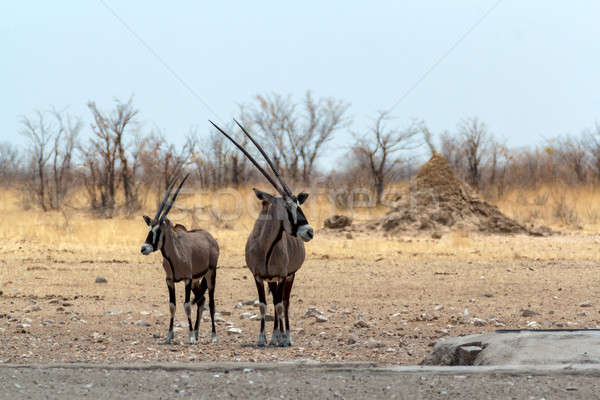 Gemsbok, Oryx gazella on waterhole Stock photo © artush