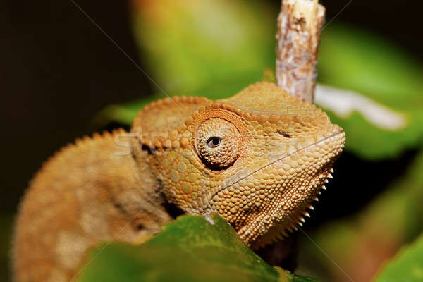 beautiful panther chameleon, Madagascar Stock photo © artush