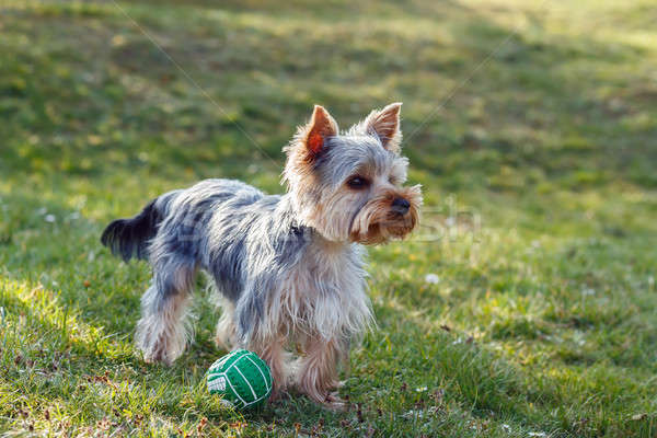 Foto stock: Cute · pequeño · yorkshire · terrier · pie · verde