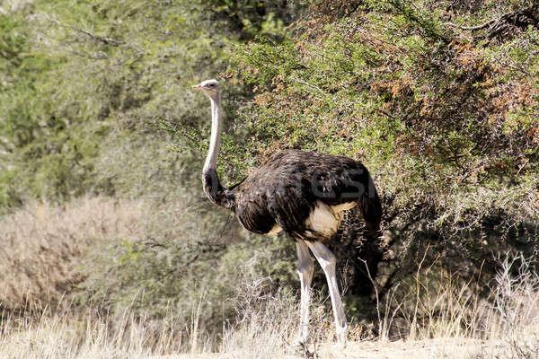 Ostrich Struthio camelus, in Namibia Stock photo © artush