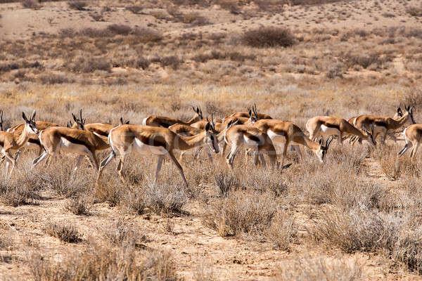 herd of springbok Stock photo © artush