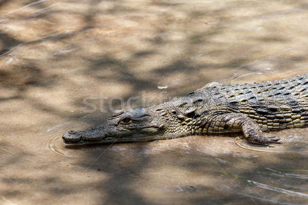 Portrait of a Nile Crocodile Stock photo © artush