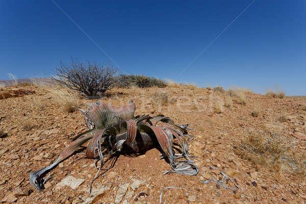 Photo stock: Incroyable · désert · usine · vie · fossile · exemple