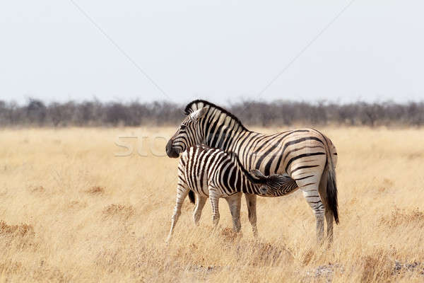 Stock photo: Zebra foal with mother in african bush