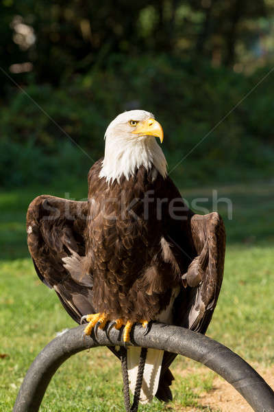 Bald Eagle (Haliaeetus leucocephalus) Stock photo © artush