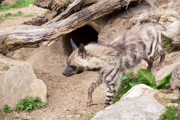 Gestreift Hyäne Spezies Ureinwohner nördlich Wüste Stock foto © artush