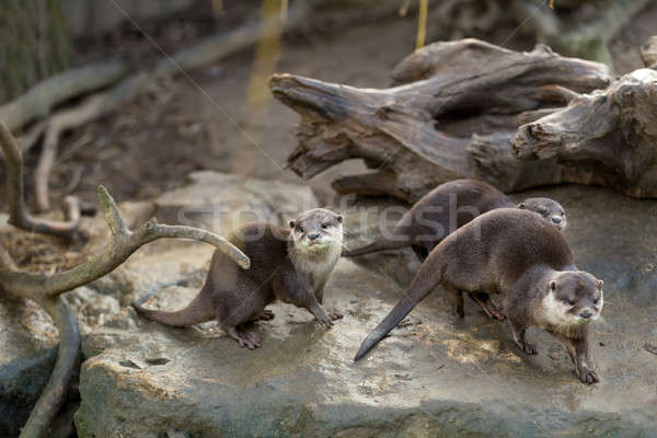 Stock photo: European otter (Lutra lutra)