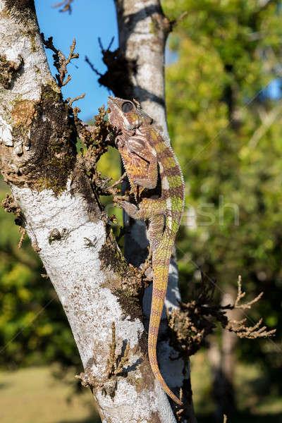 panther chameleon (Furcifer pardalis) Stock photo © artush