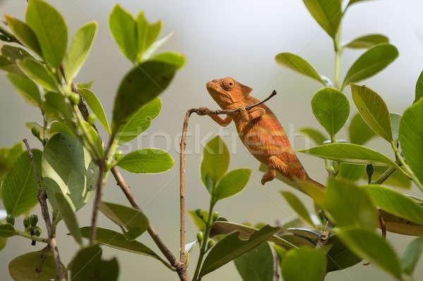 カメレオン 種 自然 生息地 公園 マダガスカル ストックフォト © artush