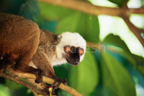 white-headed lemur (Eulemur albifrons), Madagascar Stock photo © artush