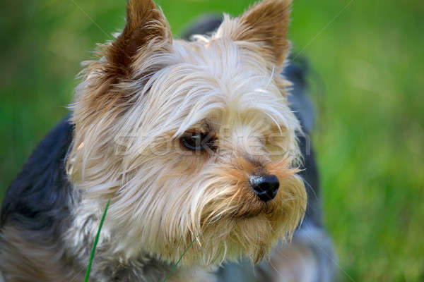 Foto stock: Cute · pequeño · yorkshire · terrier · retrato · verde