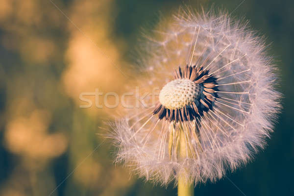 close up of Dandelion, spring abstract color background Stock photo © artush