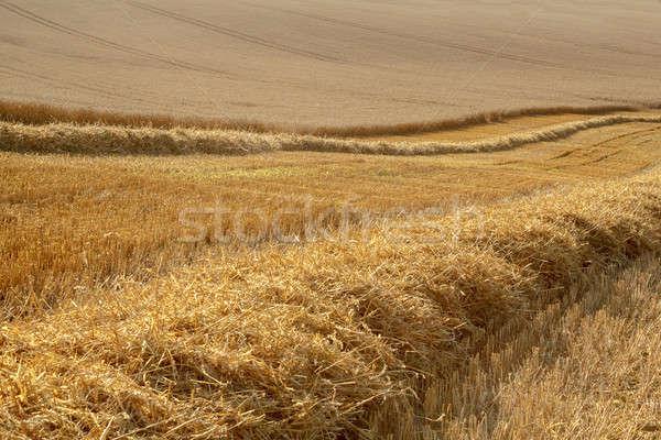 partially harvested wheat field Stock photo © artush