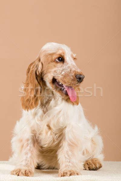 portrait of english cocker spaniel Stock photo © artush