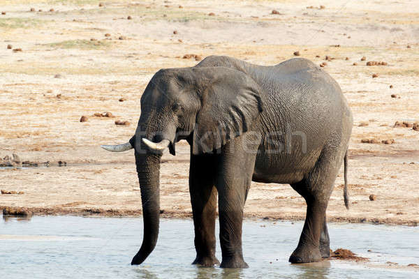 African elephants drinking at a muddy waterhole Stock photo © artush