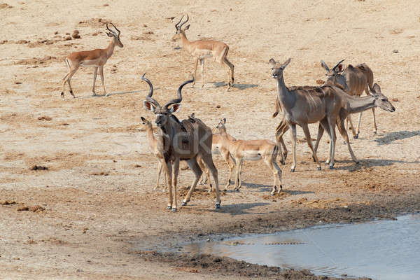 kudu Antelope drinking at a muddy waterhole Stock photo © artush