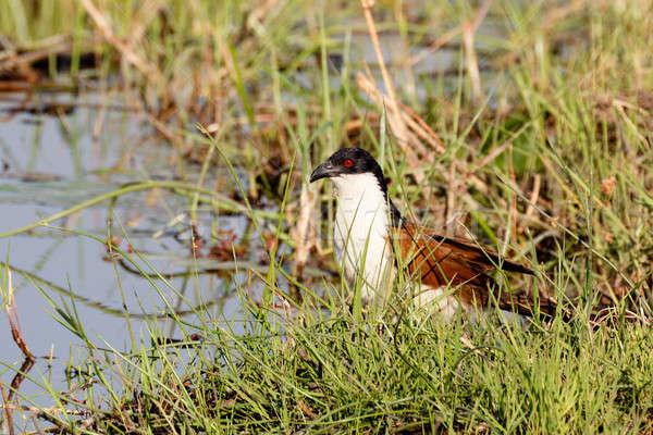 bird coppery-tailed coucal, Okavango, Botswana Africa Stock photo © artush