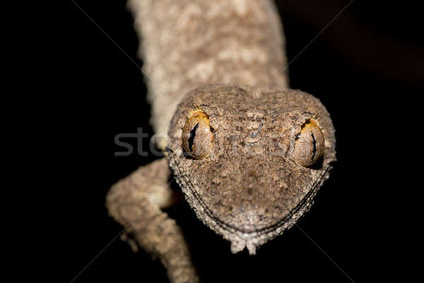 Giant leaf-tailed gecko, Uroplatus fimbriatus Stock photo © artush