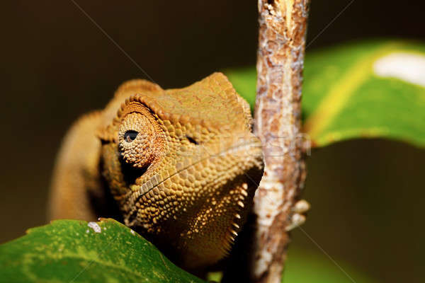 красивой Panther Chameleon Мадагаскар фото янтарь Сток-фото © artush