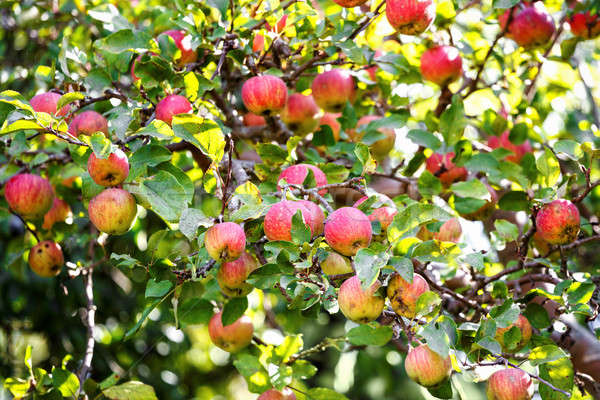 Bunch of red apples on a apple tree Stock photo © artush