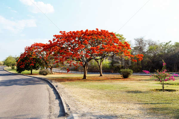 Delonix Regia (Flamboyant) tree with blue sky. Stock photo © artush
