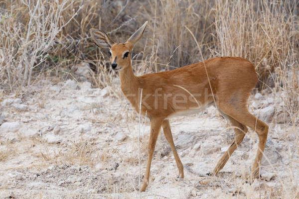 Steenbok, Etosha National Park, Namibia Stock photo © artush