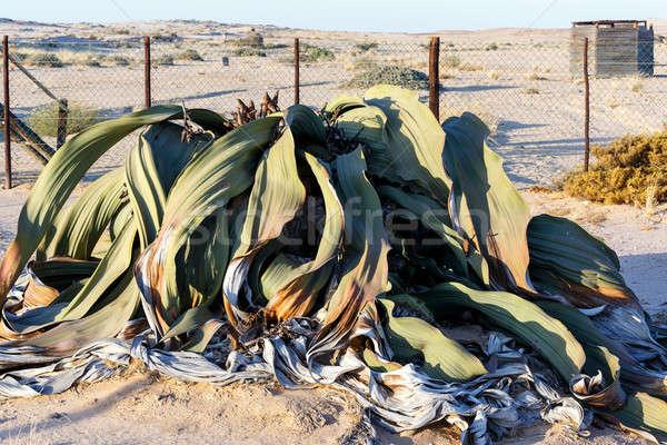 Welwitschia mirabilis, Amazing desert plant, living fossil Stock photo © artush