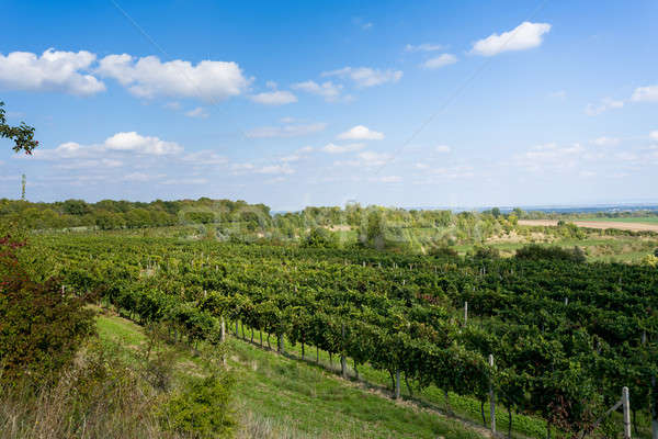 Vineyards under Palava. Czech Republic Stock photo © artush