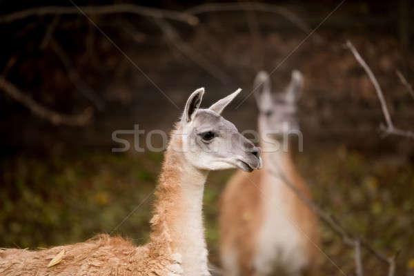 Portre lama yüz arka plan seyahat Stok fotoğraf © artush