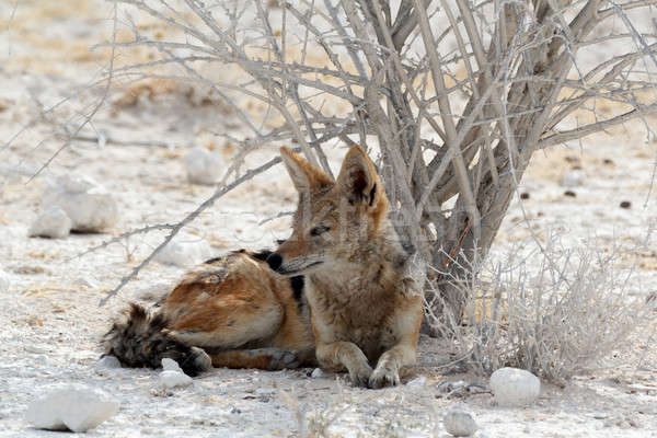 black-backed jackal Etosha Stock photo © artush