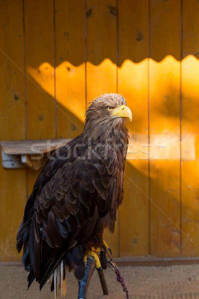 Grande mar Águia cativeiro falcoaria pássaro Foto stock © artush