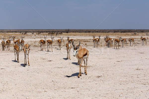 Springbok Antidorcas marsupialis Stock photo © artush