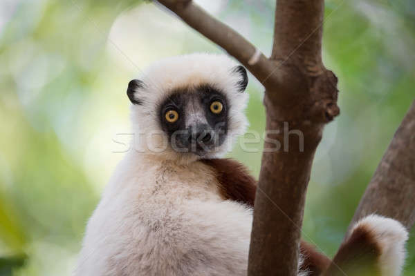 Lemur Coquerel's sifaka (Propithecus coquereli) Stock photo © artush