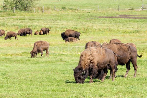 Stok fotoğraf: Amerikan · bizon · sadece · çim · doğa · yaz