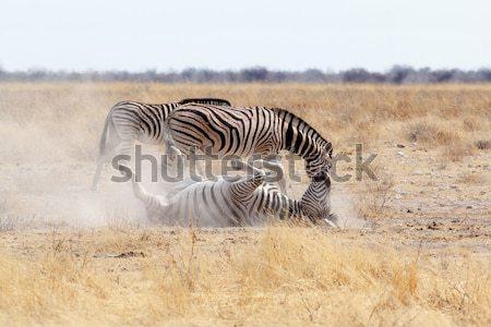 Zebra stoffig wit zand park Namibië wildlife Stockfoto © artush