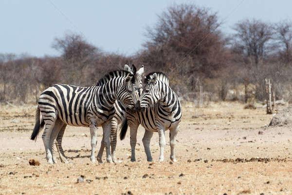 Zebrák afrikai bokor park Namíbia vadvilág Stock fotó © artush