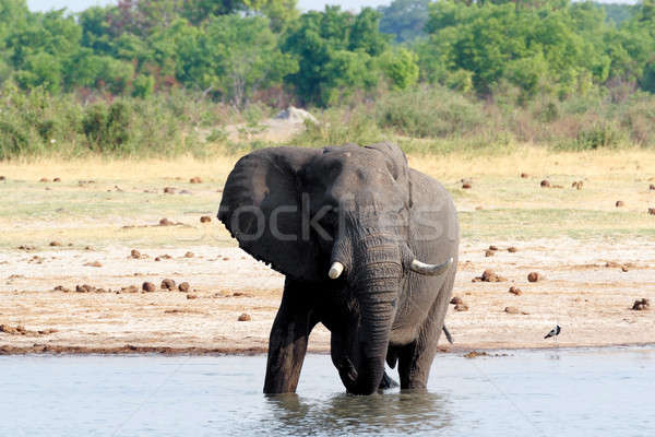 Troupeau africaine potable boueux Botswana Photo stock © artush
