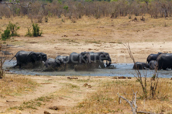 African elephants bathing at a muddy waterhole Stock photo © artush
