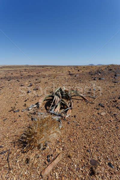 şaşırtıcı çöl bitki yaşayan fosil örnek Stok fotoğraf © artush