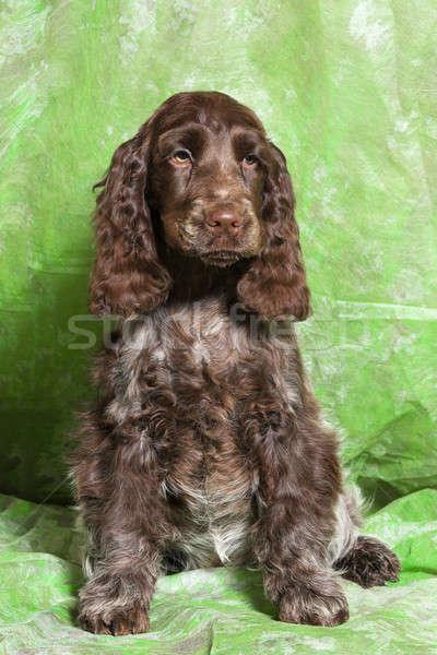 brown English Cocker Spaniel puppy Stock photo © artush