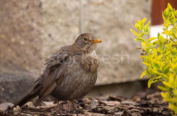 Feminino melro primavera jardim olho natureza Foto stock © artush