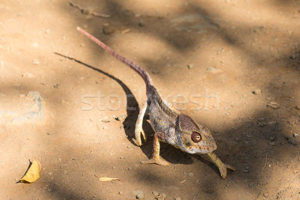 Géant caméléon Madagascar espèce spéciale Photo stock © artush