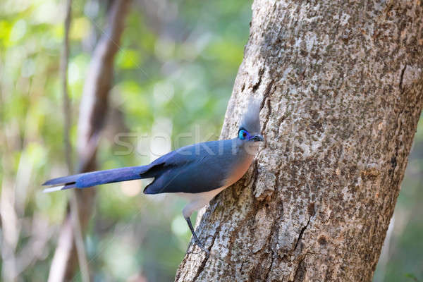 Crested coua bird (Coua cristata) Madagascar Stock photo © artush