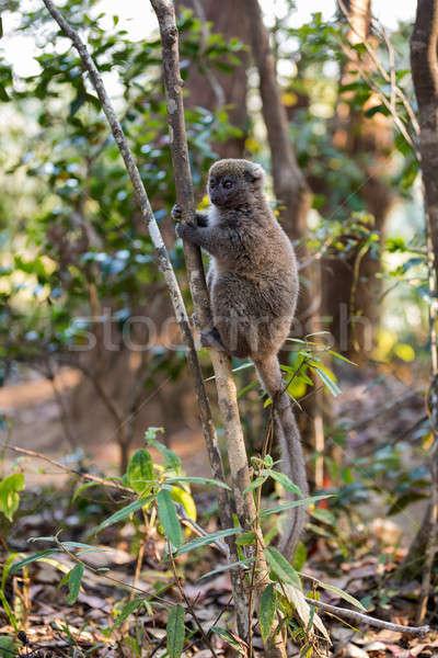 Wschodniej bambusa szary Madagaskar rezerwa Zdjęcia stock © artush
