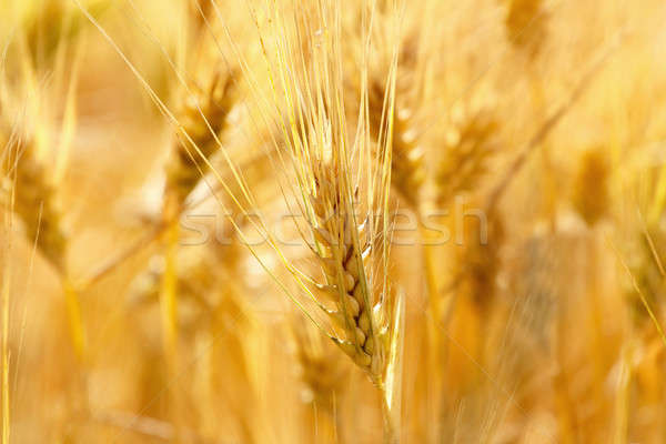 Stock photo: gold grains in summer time