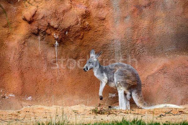 ストックフォト: カンガルー · かわいい · オーストラリア人 · リラックス · 屋外 · 赤