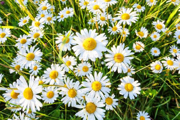 Daisy champ de fleurs grand angle printemps fond Photo stock © artush